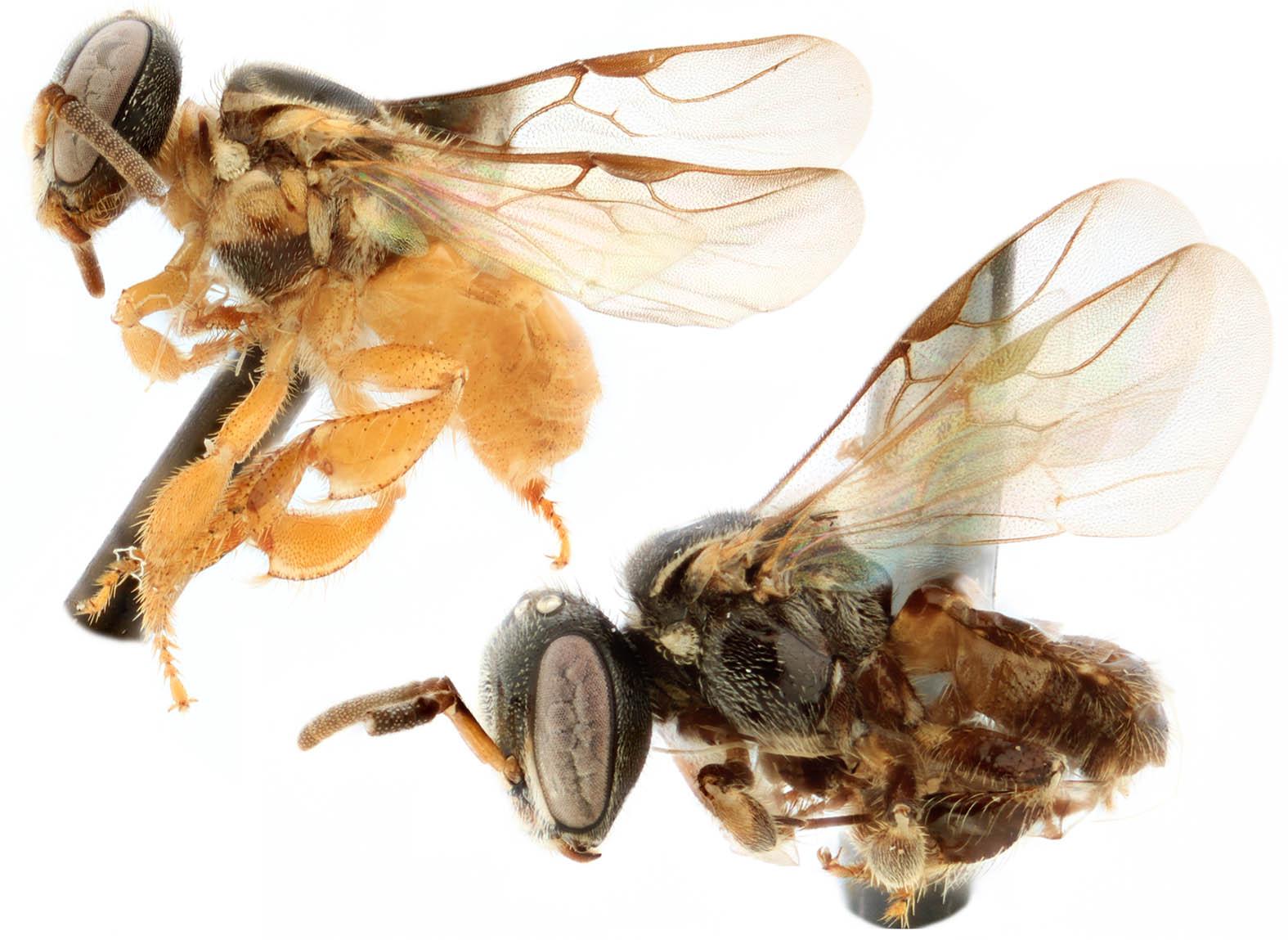 Species of Nanoplebeia.