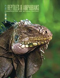 Lesser Antillean Iguana (Iguana delicatissima); Photograph by Jeffrey W. Ackley
